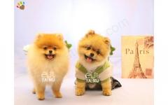 Pomeranian cinsi yavru köpek